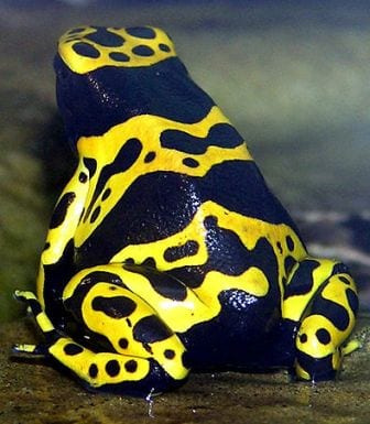 A non-butterfly-but-too-beautiful-to-not-include poison dart frog. The vibrant skin patterns warn predators of its toxicity, just like our butterflies. (Image by Adrian Pingstone, obtained from commons.wikimedia.org)