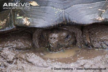 Galapagos tortoise wallowing in mud. (C) David Hosking www.flpa-images.co.uk