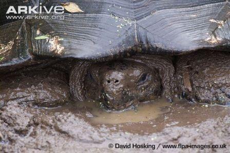 Galapagos tortoise wallowing in mud. (C) David Hosking www.flpa-images.co.uk
