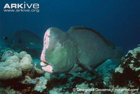 A single humphead parrotfish showing the beautiful colours of the bulbous forhead. Image copyright Georgetta Douwma. naturepl.com