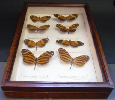The beautiful ye olde box containing the eight Nymphalid butterflies at the Grant Museum of Zoology