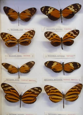 The four butterflies on the left are Melinaea, the four on the right are Heliconius (LDUCZ-L60)