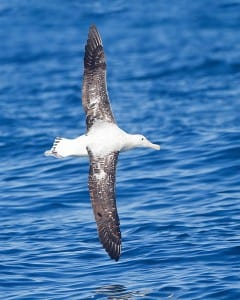Albatross by JJ Harrison obtained from commons.wikimedia.org