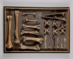 Grant Museum dodo bones