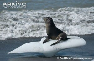 Eared seals have long strong flippers which they can stand and walk on