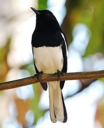 The very magpie-ish looking male oriental magpie robin. (Image taken by Challiyan. Image obtained from www.commons.wikimedia.org)