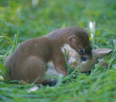A stoat cpatures a rabbit, despite the size difference. (C) Colin Seddon www.naturepl.com