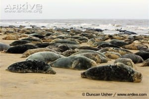 True seals cannot raise their bodies onto their hind or fore limbs