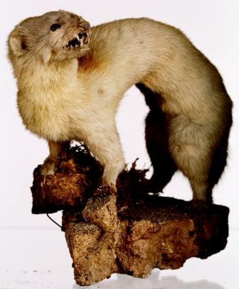 The taxidermy stoat (Mustela nivalis sp) at the Grant Museum of Zoology LDUCZ-Z571