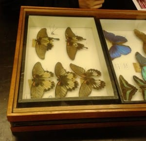 Pinned butterflies from the Linnean Society's collection store