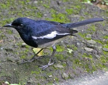 The oriental magpie robin. (Image taken by Lip Kee Yap. Image obtained from www.commons.wikimedia.org)