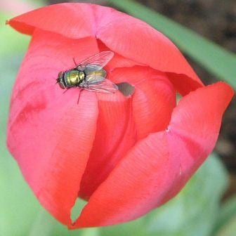 I thought you'd rather an image of a bluebottle on a flower than a human cadaver...? (Image taken by Sue Welsh. Obtained from www.commons.wikimedia.org).