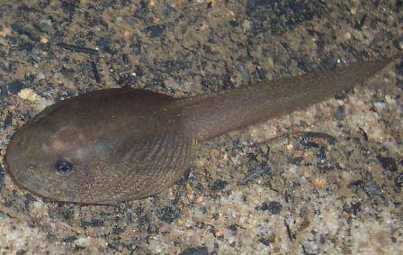 This tadpole is from a giant burrowing frog, which is the same genus as the western spotted frog (copyright free images of the western spotted frog are rare, it seems). (Image taken by Tnarg 12345, image obtained from www.commons.wikimedia.org)