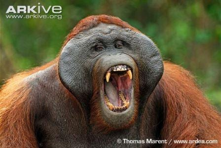 A male Bornean orang-utan yawning. This image shows the large cheek flanges present in the males of this species. (C) Thomas Marent www.ardea.com