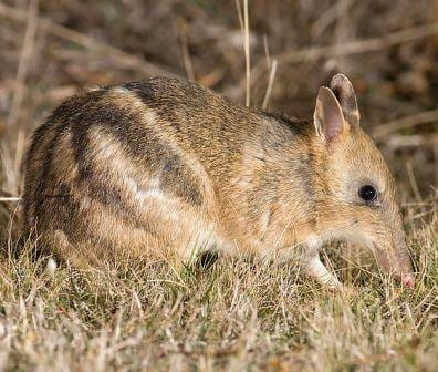 The beautiful eastern barred bandicoot. (Image taken by J. J. Harrison. Obtained from commons.wikimedia.org)