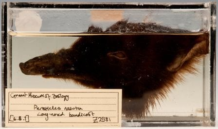 The one remaining fluffy side of the head of our long-nosed bandicoot (Perameles nasuta) LDUCZ-Z2581