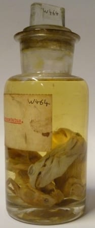 The preserved western spotted frog(s) (Heleioporus albopunctatus) at the Grant Museum of Zoology