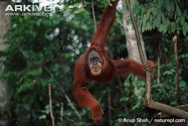 This handsome chap has the characteristic 'beard' of the Sumatran species of orang-utan. (C) Anup Shah naturepl.com