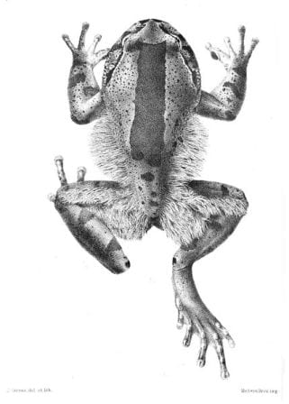This illustration of the hairy frog is from the Proceedings of the Zoological Society of London, 1901, by J. Green.