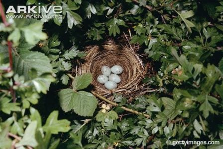 The nest of a bullfinch, hidden in a hedgerow. © gettyimages.com