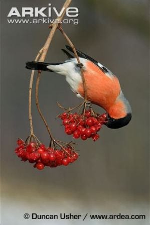 A male bullfinch feeding on some berries. © Duncan Usher / www.ardea.com
