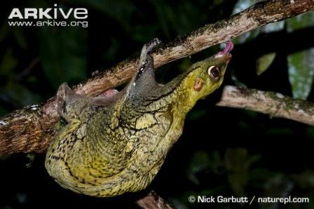 A Malayan colugo licking algae off of a branch. © Nick Garbutt / naturepl.com
