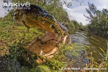 A very close close-up of an American alligator. © Andy Murch / Elasmodiver.com