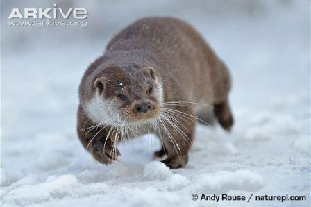 Adding snow to any animal picture makes it instantly more aesthetic. © Andy Rouse / naturepl.com