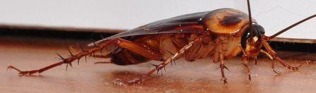 A close up showing the beautiful colours of the American cockroach. (Image by Glueball, obtained from www.commons.wikimedia.org)