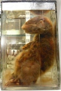 The preserved female European otter ( Lutra lutra ) at the Grant Museum of Zoology. LDUCZ-Z2329.