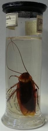 American cockroach (Periplaneta americana), LDUCZ-L3255.