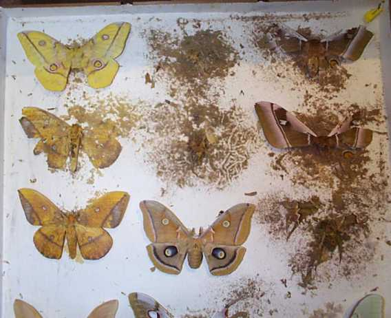Pest damage to Grant Museum entomology collection