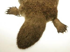 Back end of platypus, showing his poison spurs LDUCZ-Z20