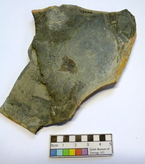 Image of Grant Museum fossil LDUCZ-V941 Rhamphodopsis sp.