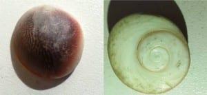 Turbo snail opercula from Jack's bathroom
