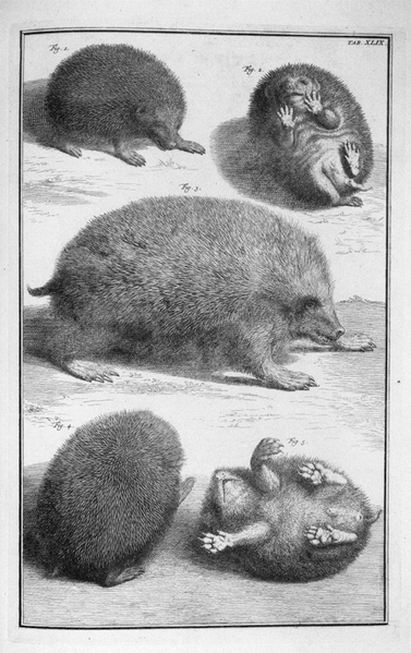 Engraving depicting different views of the hedgehog in the Thesaurus