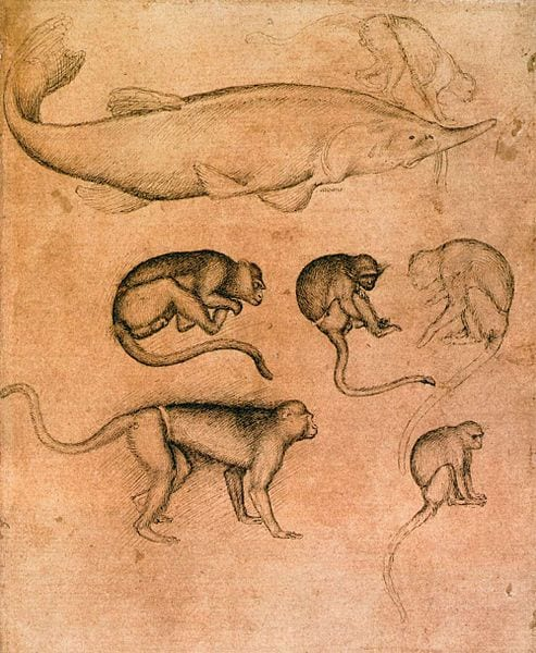 Sturgeon and six vervet monkeys.Drawings from the 1430s.Antonio di Puccio Pisano, 'Pisanello' [Public domain] via Wikimedia Commons.