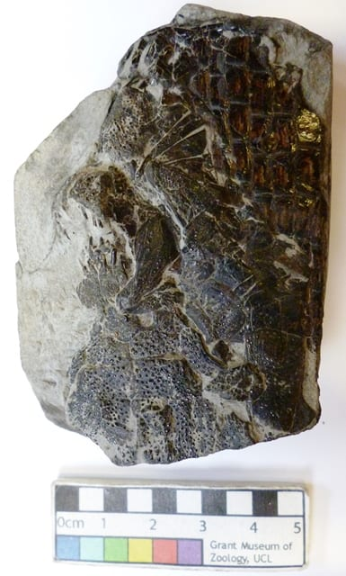 Image of fossil fish specimen numbered LDUCZ-V1508 Dapedium sp
