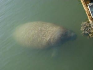 West Indian manatee in the Gulf of Mexico.
