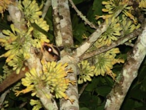 The glimpsed I got of a striped possum in Julatten, Queensland. (C) Jack Ashby