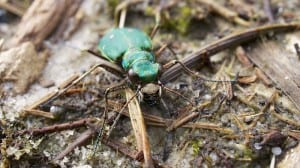 Green tiger beetle (Cicindela campestris) taken by Ian Kirk obtained from wikimedia commons