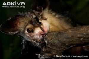 The aye-aye's bony finger, also independently evolved in striped possums.