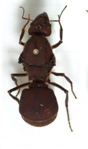Leaf cutter ant (Atta sexdens) queen