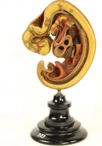 Human embryological model