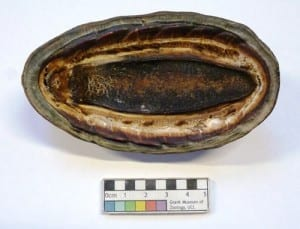 The underside of the giant chiton. LDUCZ-P14