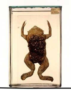 Surinam toad (Pipa pipa) LDUCZ-W332