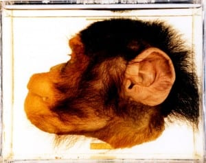 Bisected chimp (Pan troglodytes) head LDUCZ-Z2226