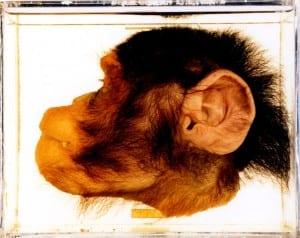 Bisected chimp (Pan troglodytes) head LDUCZ-Z2226