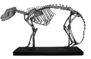 Thylacine (Thylacinus cynocephalus) LDUCZ-Z89