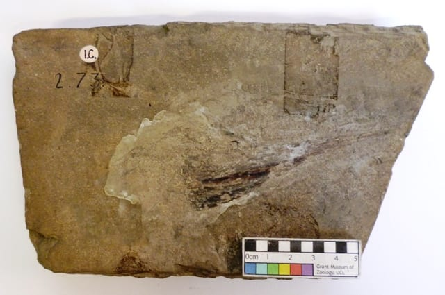 Image of fossil fish specimen LDUCZ-V1523 Acidorhynchus acutus from the Grant Museum of Zoology UCL